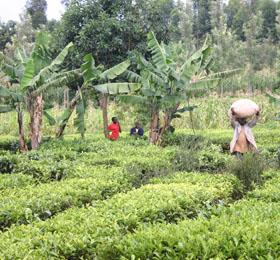 kenya-pics-fields